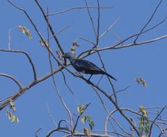 DSC_1842_1 (Marshen) Tags: zimbabwe victoriafalls onychognathusmorio redwingedstarling