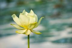 Lotus († David Gunter) Tags: lotus flower bokeh colorful colors dof