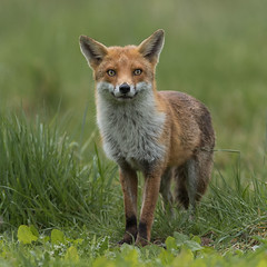 Fox (Glenn.B) Tags: nature wildlife buckinghamshire animal mammal fox grassland redfox vulpesvulpes britishfox