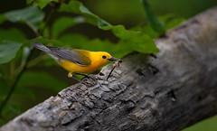 Prothonotary Warbler (nikunj.m.patel) Tags: nature wild bird warbler migration prothonotarywarbler swamp wildlife nikon naturephotography