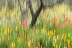 Olive Grove (brendatharp) Tags: spring flowers panblur italy meadow cultural trees walldecor tuscany wildflowers travel olive wallart impression tree europe springtime intentionalcameramotion tuscan