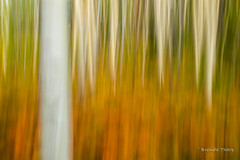 Standing Apart (brendatharp) Tags: motionblur blur art nature fe fineartprint outdoor santa naturephotography yellow trees walldecor wallart southwest tree outside newmexico aspens natureimpressions impression orange nobody santafe aspen blurred populustremuloides