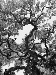 Mighty Oaks (brendatharp) Tags: camera iphone artistry phone artistic art digital photography