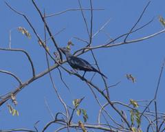 DSC_1841_1 (Marshen) Tags: zimbabwe victoriafalls onychognathusmorio redwingedstarling