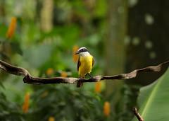 20190614 Social Flycatcher (rudygarns) Tags: jun14 costarica