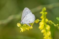 SUMMER AZURE BUTTERFLY (nsxbirder) Tags: miamimeadowspark clermontcounty loveland ohio butterfly summerazure milford unitedstatesofamerica