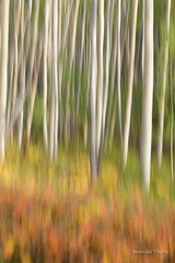 Aspen Impressions (brendatharp) Tags: motionblur blur art nature fe fineartprint outdoor santa naturephotography yellow trees walldecor wallart southwest tree outside newmexico aspens natureimpressions impression orange nobody santafe aspen blurred populustremuloides