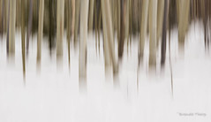 Winter in the Aspen Grove (brendatharp) Tags: trees impression southwest winter wallart walldecor nobody santafe blur snow