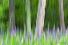 Lupine Dreams (brendatharp) Tags: motionblur art nature flower fineartprint day meadow apostle superior naturephotography daytime walldecor wild tree wallart forest outdoor greetingcard outside lake nobody horizontal wilderness madelineisland