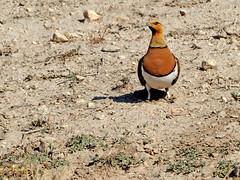 Ganga ibérica (Pterocles alchata)  (163) (eb3alfmiguel) Tags: aves pteroclidiformes pteroclidae ganga ibérica pterocles alchata roca hierba pájaro animal suelo arena
