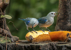 20190614 Blue-gray Tanagers (rudygarns) Tags: jun14 costarica
