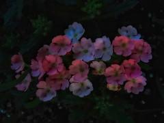 Evening Thoughts (Robert Cowlishaw (Mertonian)) Tags: thinkingofsophia wonder awe ineffable downlooking spring2019 canon powershot shadesoforange bypl mertonian robertcowlishaw backyardphotolab canonpowershotsx70hs sx70hs peach