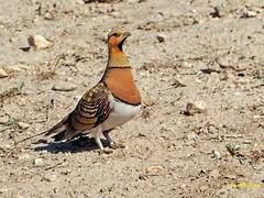 Ganga ibérica (Pterocles alchata)  (149) (eb3alfmiguel) Tags: aves pteroclidiformes pteroclidae ganga ibérica pterocles alchata roca hierba pájaro animal suelo arena