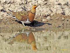 Ganga ibérica (Pterocles alchata)  (137) (eb3alfmiguel) Tags: aves pteroclidiformes pteroclidae ganga ibérica pterocles alchata roca hierba pájaro animal suelo arena