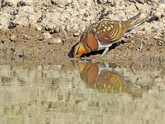 Ganga ibérica (Pterocles alchata)  (135) (eb3alfmiguel) Tags: aves pteroclidiformes pteroclidae ganga ibérica pterocles alchata roca hierba pájaro animal suelo arena