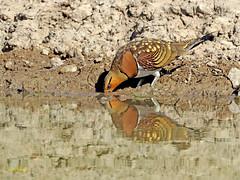 Ganga ibérica (Pterocles alchata)  (131) (eb3alfmiguel) Tags: aves pteroclidiformes pteroclidae ganga ibérica pterocles alchata roca hierba pájaro animal suelo arena
