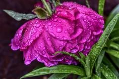 After The Rain (_Tana) Tags: flower rain macro peony pink waterdroplets