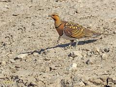 Ganga ibérica (Pterocles alchata)  (118) (eb3alfmiguel) Tags: aves pteroclidiformes pteroclidae ganga ibérica pterocles alchata roca hierba pájaro animal suelo arena