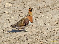 Ganga ibérica (Pterocles alchata)  (112) (eb3alfmiguel) Tags: aves pteroclidiformes pteroclidae ganga ibérica pterocles alchata roca hierba pájaro animal suelo arena