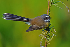 Fantail (bevanwalker) Tags: nikon d750 lens 300mmf28tc17e11 bird animal fresh sky time winter photography plant outdoor native nature wildlife pose portraitbeak feathers moment closeup camera image wing eye sea sunshine fun paradise outside smile happy 2019 newzealand standing you