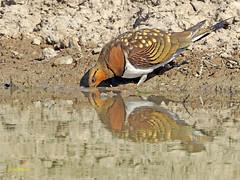 Ganga ibérica (Pterocles alchata)  (140) (eb3alfmiguel) Tags: aves pteroclidiformes pteroclidae ganga ibérica pterocles alchata roca hierba pájaro animal suelo arena
