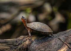 20190614 Black River Turtle (rudygarns) Tags: jun14 costarica