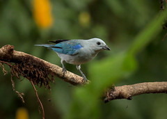 20190614 Blue-gray Tanager (rudygarns) Tags: jun14 costarica