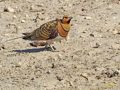 Ganga ibérica (Pterocles alchata)  (114) (eb3alfmiguel) Tags: aves pteroclidiformes pteroclidae ganga ibérica pterocles alchata roca hierba pájaro animal suelo arena
