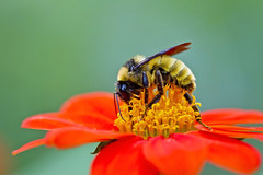 golden northern bb 2 (G_Anderson) Tags: bumble bee pollinator flower native garden
