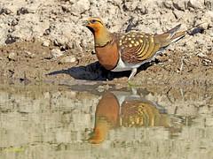 Ganga ibérica (Pterocles alchata)  (139) (eb3alfmiguel) Tags: aves pteroclidiformes pteroclidae ganga ibérica pterocles alchata roca hierba pájaro animal suelo arena