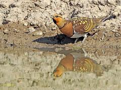 Ganga ibérica (Pterocles alchata)  (132) (eb3alfmiguel) Tags: aves pteroclidiformes pteroclidae ganga ibérica pterocles alchata roca hierba pájaro animal suelo arena