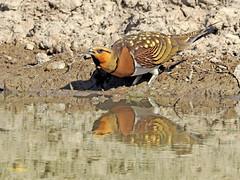 Ganga ibérica (Pterocles alchata)  (128) (eb3alfmiguel) Tags: aves pteroclidiformes pteroclidae ganga ibérica pterocles alchata roca hierba pájaro animal suelo arena