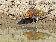 Ganga ibérica (Pterocles alchata)  (126) (eb3alfmiguel) Tags: aves pteroclidiformes pteroclidae ganga ibérica pterocles alchata roca hierba pájaro animal suelo arena