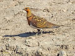 Ganga ibérica (Pterocles alchata)  (124) (eb3alfmiguel) Tags: aves pteroclidiformes pteroclidae ganga ibérica pterocles alchata roca hierba pájaro animal suelo arena