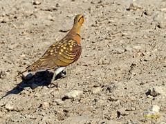 Ganga ibérica (Pterocles alchata)  (109) (eb3alfmiguel) Tags: aves pteroclidiformes pteroclidae ganga ibérica pterocles alchata roca hierba pájaro animal suelo arena