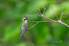 Canivet's Emerald (Mario Arana G) Tags: 7d ave bird birding cr canivetsemerald canon costarica florayfauna guanacaste marioarana nature naturephotography photography playasdelcoco wildlife wildlifecostarica