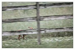 My First Good Run - Twin (GAPHIKER) Tags: deer white tail bambi baby born 30 may 2019 texture lenabemanna fence happyfencefriday hff run running legs