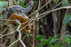 Bunthörnchen (RiversideMovie&Pictures Wildlife) Tags: adillavariabel bunthörnchen costarica eichhörnchen nosara sciurus sciurusvariegatoides variegatessquirrel wildlife