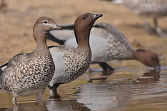Australian Wood Ducks (Luke6876) Tags: australianwoodducks woodducks ducks bird animal wildlife australianwildlife nature reflection