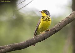 Canada Warbler (sbuckinghamnj) Tags: warbler bird newjersey wawayanda canadawarbler