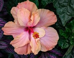 Hibiscus 169 of 365 (Year 6) (bleedenm) Tags: chicagobotanicgarden doubleexposures latespring 2019 flowers glencoe greenhouse illinois june plants rainy