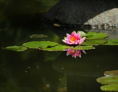 (CanMan90) Tags: waterlily gorgepark lilypads reflections victoria britishcolumbia vancouverisland canada canon rebelt3i efs55250mmf456isstm pond