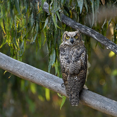 Young Owl (Marc Briggs) Tags: dsc52721aw owl bubovirginianus greathornedowl hornedowl bird birdofprey raptor avian wildlife wild nature