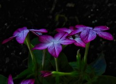 Touch Purple (Robert Cowlishaw (Mertonian)) Tags: 3 spring2019 beauty beautiful wonder awe ineffable lowlight dusk flowers evening backyardphotolab bypl purple parasophia sx70hs powershot canon canonpowershotsx70hs robertcowlishaw mertonian