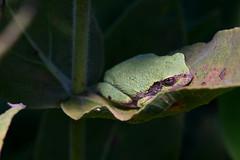 Hyla chrysoscelis (rdodson76) Tags: hylachrysoscelis copesgreytreefrog treefrog frog amphibian animal wildlife herpetology nature habitat green environment climate milkweed rest refuge nap cute