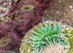 6-17AnemonesA (RoofRiderNW) Tags: animal anemone water tidepool