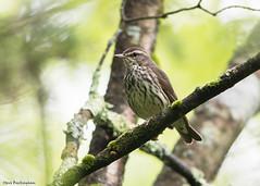 Northern Waterthrush (sbuckinghamnj) Tags: warbler bird newjersey wawayanda northernwaterthrush