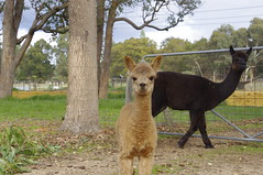 baby lama (iainken) Tags: baby lama mother child cute wolly