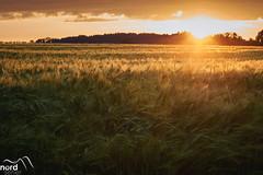 Sonne im Feld (Nordseher) Tags: abend feld gegenlicht sonne gelb