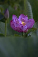 D85_5680s (An Xiao) Tags: lotus aquaticgarden